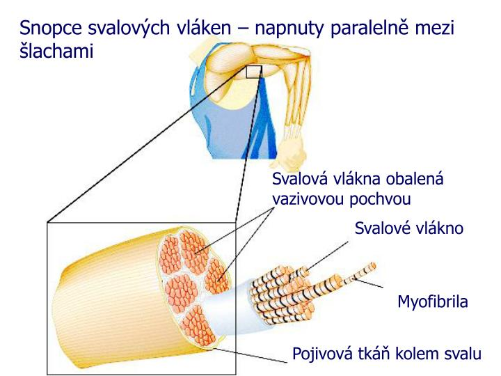 Snopce svalových vláken – napnuty paralelně mezi šlachami