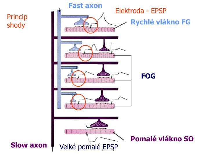 Fast axon