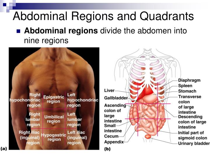 Abdominal Regions and Quadrants