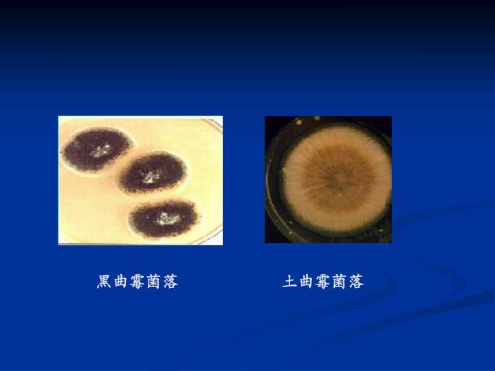 黑曲霉菌落