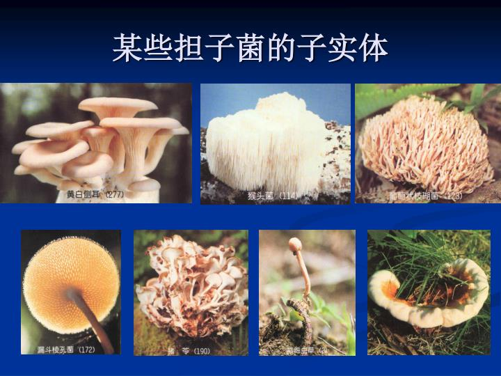 某些担子菌的子实体