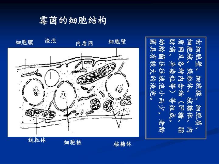 霉菌的细胞结构