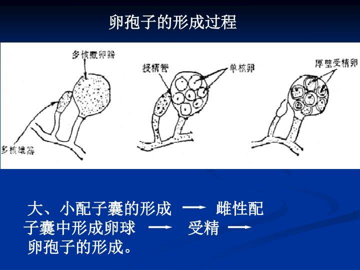 卵孢子的形成过程