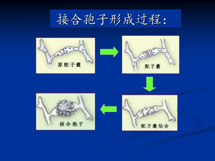 接合孢子形成过程: