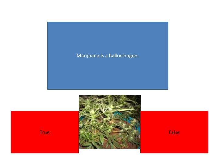 Marijuana is a