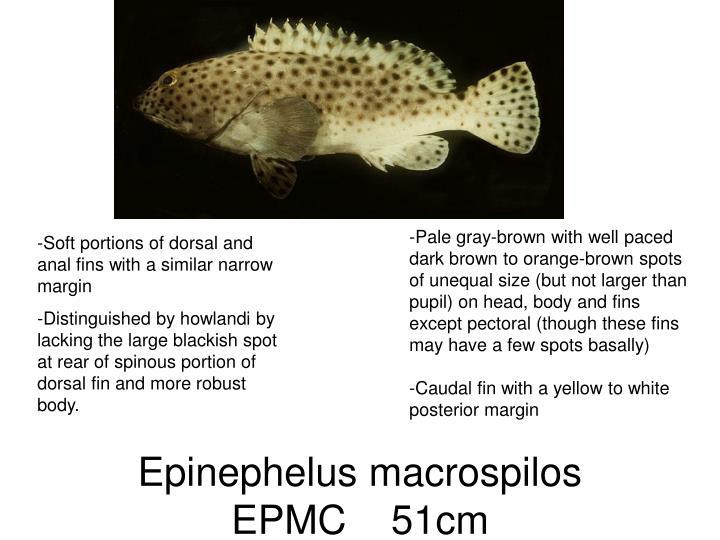 Epinephelus macrospilos