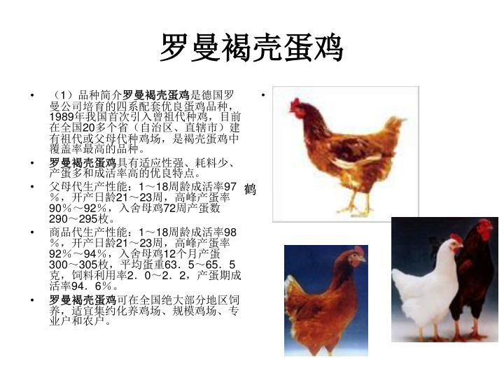 罗曼褐壳蛋鸡