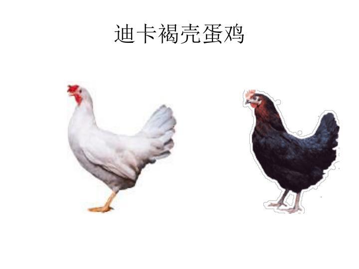 迪卡褐壳蛋鸡