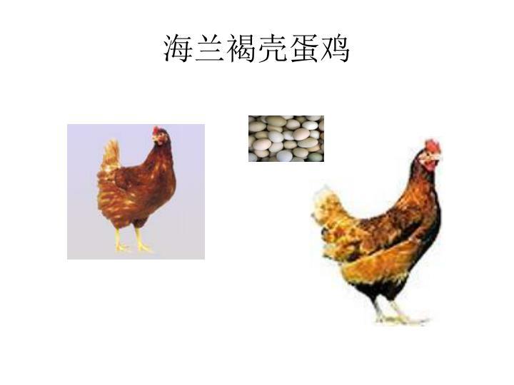 海兰褐壳蛋鸡