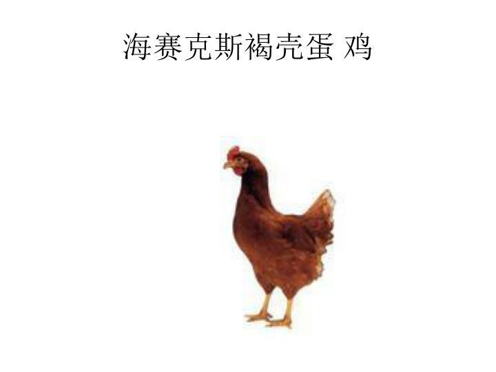海赛克斯褐壳蛋 鸡