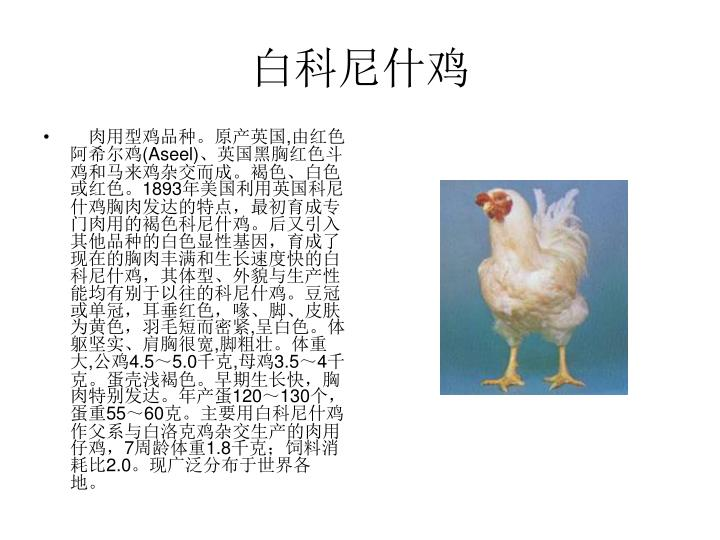 白科尼什鸡