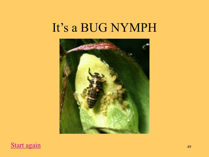 It's a BUG NYMPH
