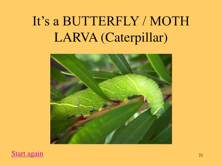 It's a BUTTERFLY / MOTH LARVA (Caterpillar)