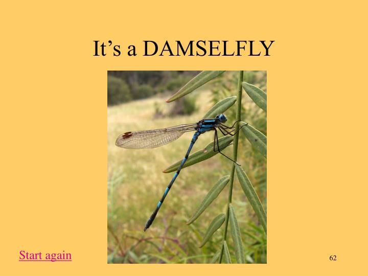 It's a DAMSELFLY