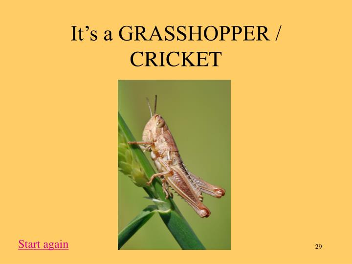 It's a GRASSHOPPER / CRICKET