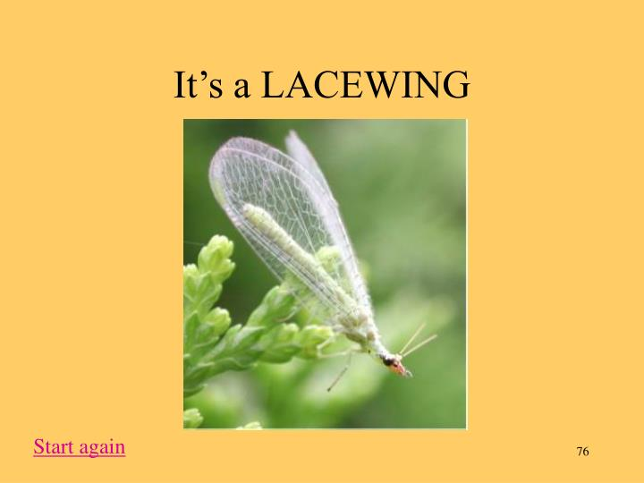 It's a LACEWING