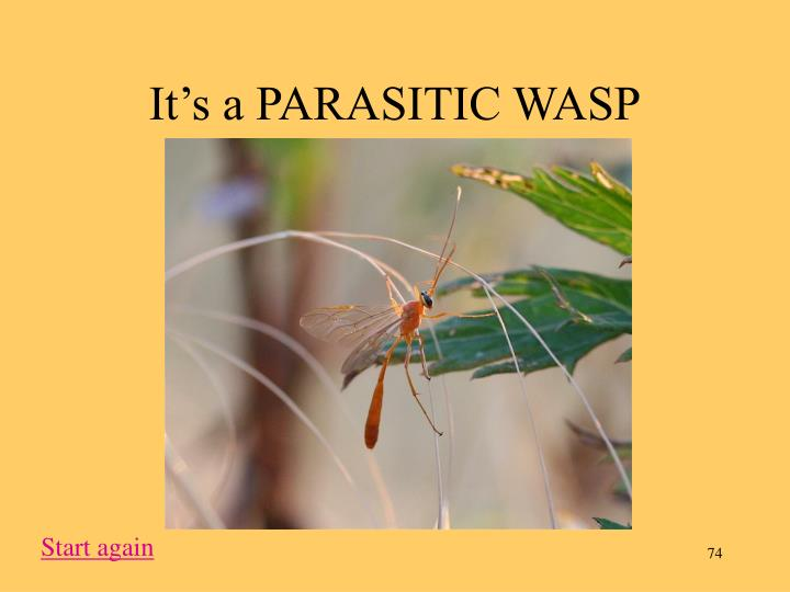 It's a PARASITIC WASP