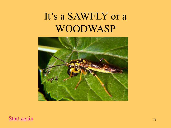 It's a SAWFLY or a WOODWASP