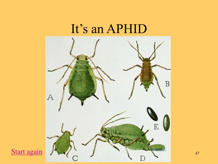 It's an APHID