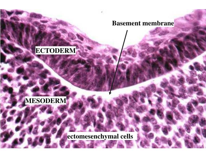 Basement membrane