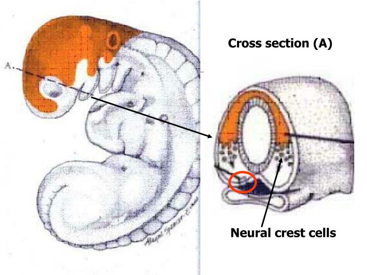 Cross section (A)
