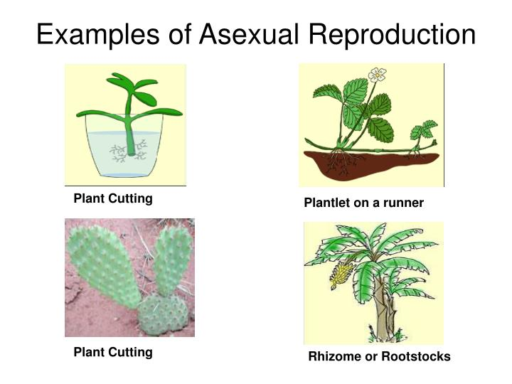 reproduction a sexual