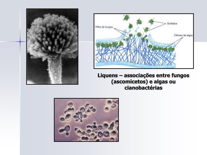 Liquens – associações entre fungos (ascomicetos) e algas ou cianobactérias