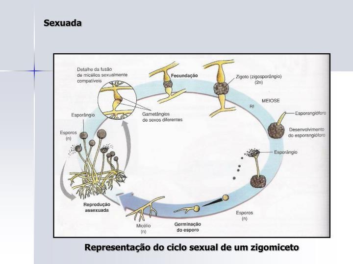 Representação do ciclo sexual de um zigomiceto