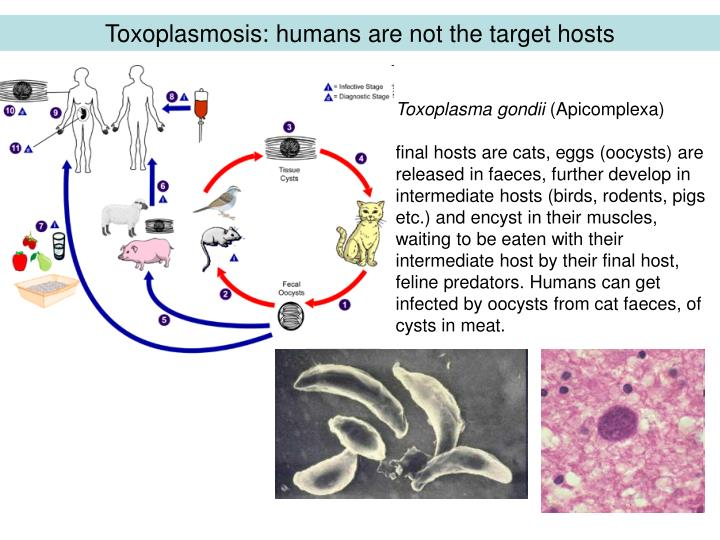 Toxopla