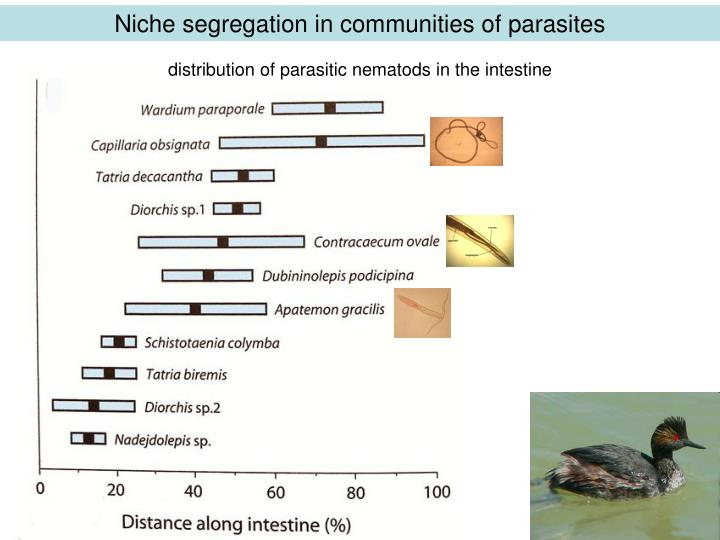 Niche segregation in communities of parasites