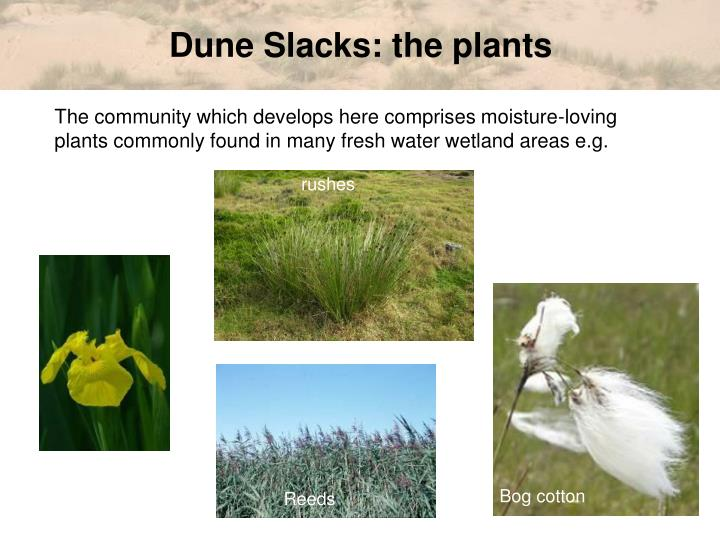 Dune Slacks: the plants