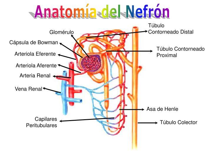 Anatomía del Nefrón