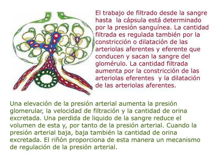 El trabajo de filtrado desde la sangre hasta  la cápsula está determinado por la presión sanguínea. La cantidad filtrada es regulada también por la constricción o dilatación de las arteriolas aferentes y eferente que conducen y sacan la sangre del glomérulo. La cantidad filtrada aumenta por la constricción de las arteriolas eferentes  y la dilatación de las arteriolas aferentes.