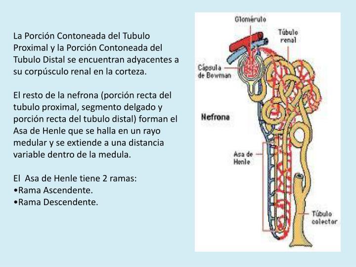 La Porción Contoneada del Tubulo Proximal y la Porción Contoneada del Tubulo Distal se encuentran adyacentes a su corpúsculo renal en la corteza.