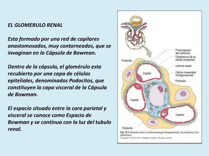 EL GLOMERULO RENAL