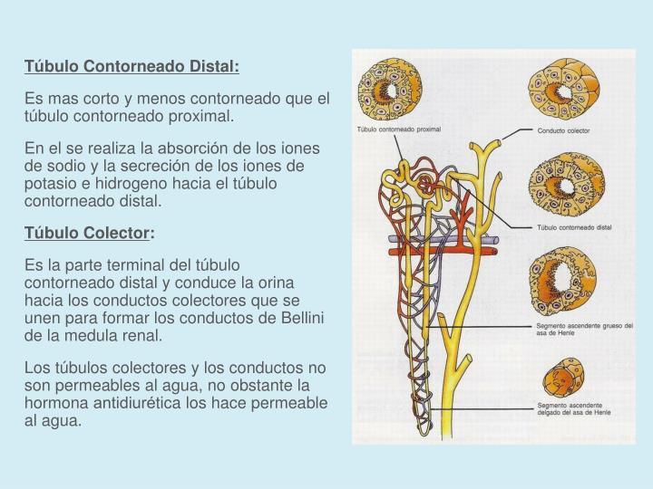 Túbulo Contorneado Distal: