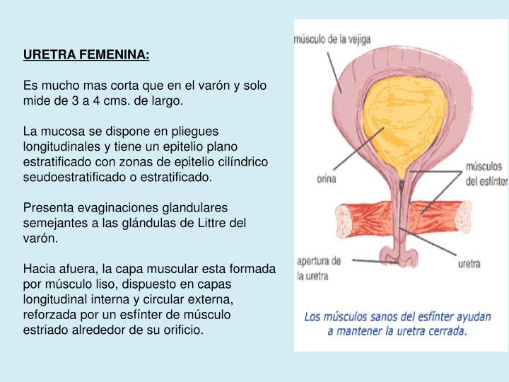 URETRA FEMENINA: