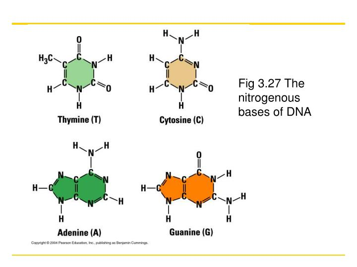 Fig 3.27 The nitrogenous bases of DNA