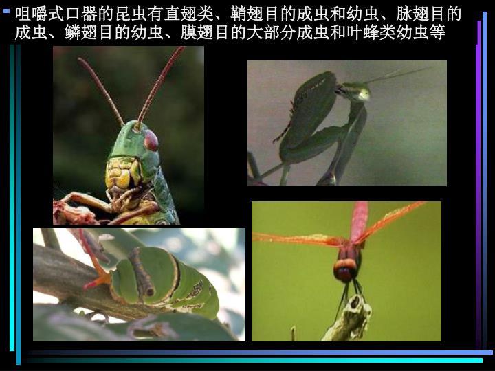 咀嚼式口器的昆虫有直翅类、鞘翅目的成虫和幼虫、脉翅目的成虫、鳞翅目的幼虫、膜翅目的大部分成虫和叶蜂类幼虫等