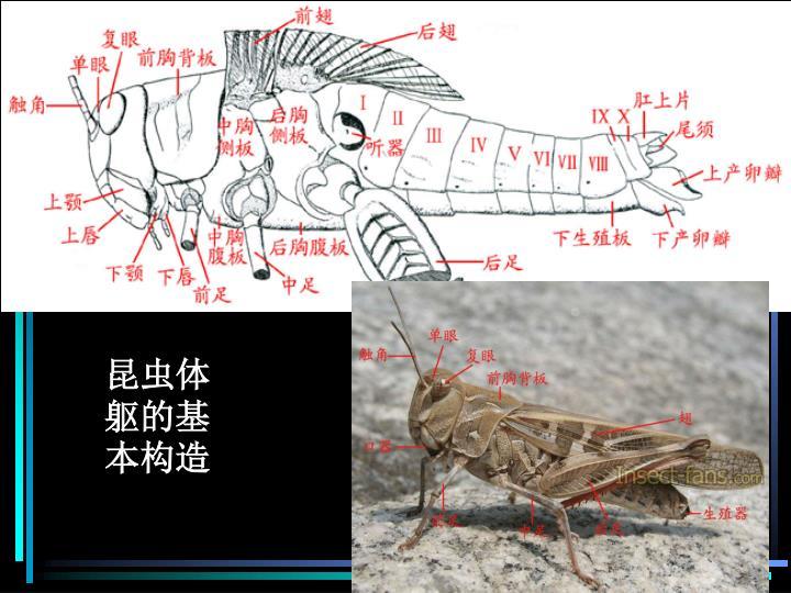 昆虫体躯的基本构造