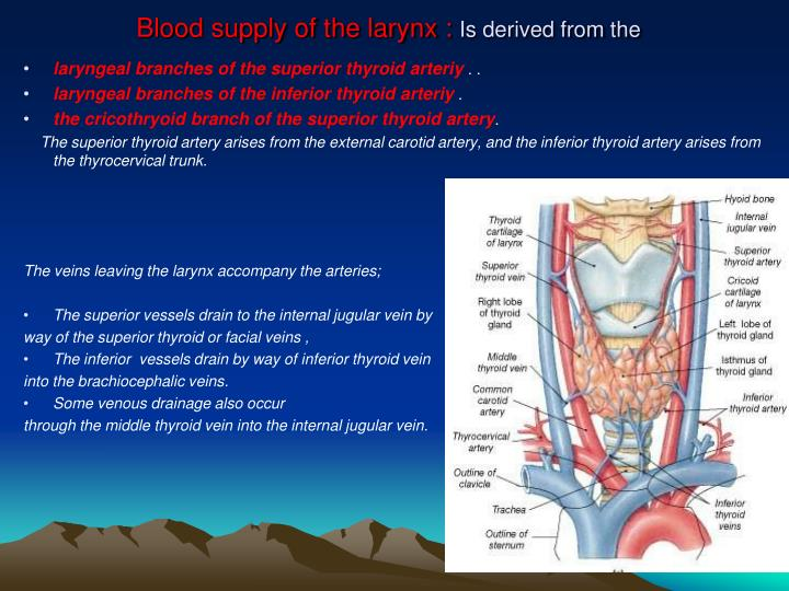 Blood supply of the larynx :