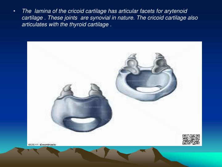 The  lamina of the cricoid cartilage has articular facets for arytenoid cartilage . These joints  are synovial in nature. The cricoid cartilage also articulates with the thyroid cartilage .