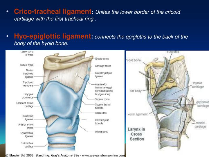 Crico-tracheal ligament