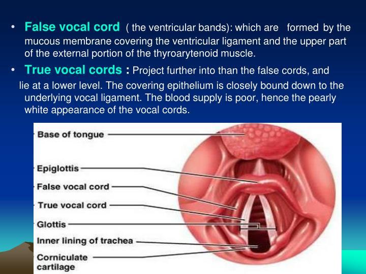 False vocal cord