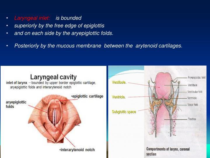 Laryngeal inlet: