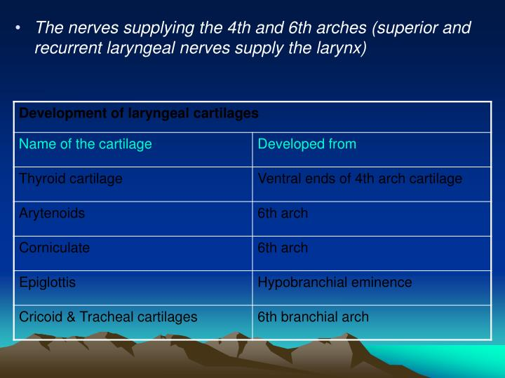 The nerves supplying the 4th and 6th arches (superior and recurrent laryngeal nerves supply the larynx)