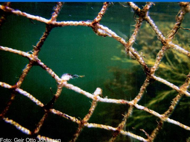 Bilder av not med hull spist av torsken
