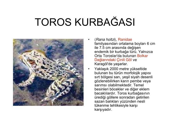 TOROS KURBAĞASI