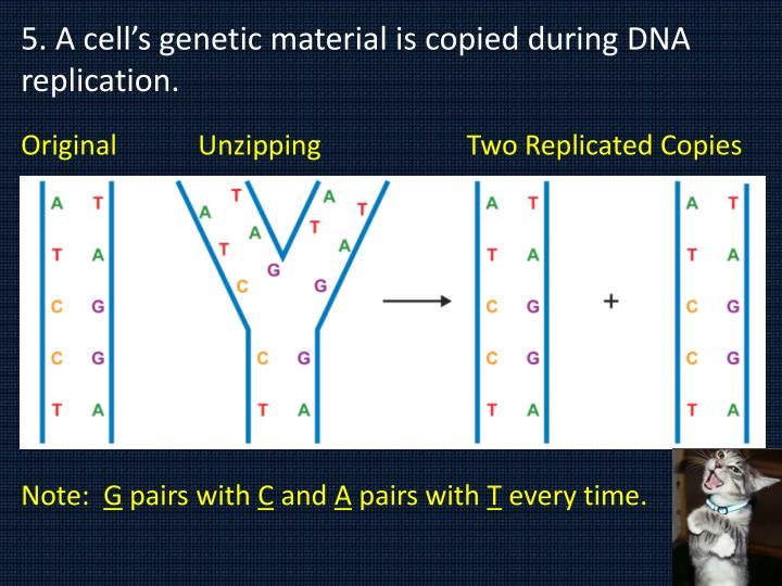 5. A cell's genetic material is copied during DNA replication.