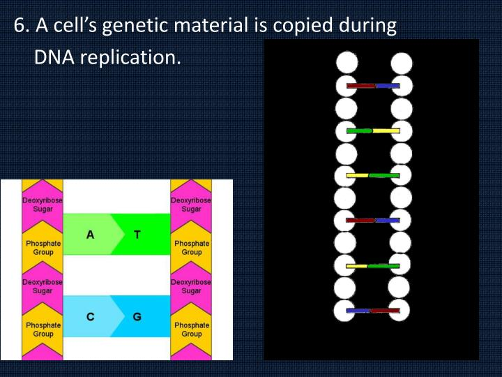 6. A cell's genetic material is copied during